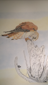 Kestrel by Mandi Keck